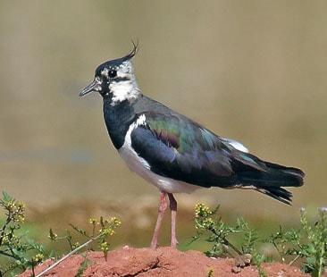 Tofsvipa (Vanellus vanellus) Foto: Andreas Trepte