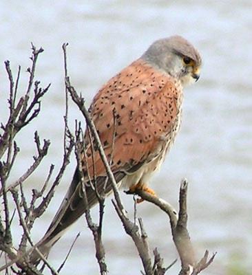 Tornfalk (Falco tinnunculus) Foto: sannse
