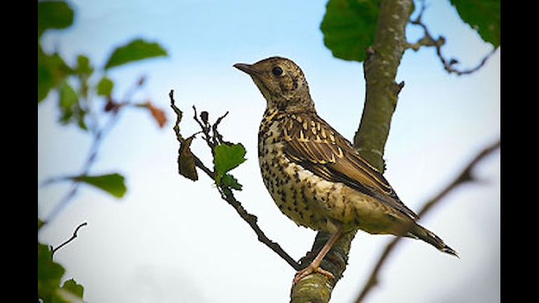 Dubbeltrast (Turdus viscivorus) Foto: David Friel