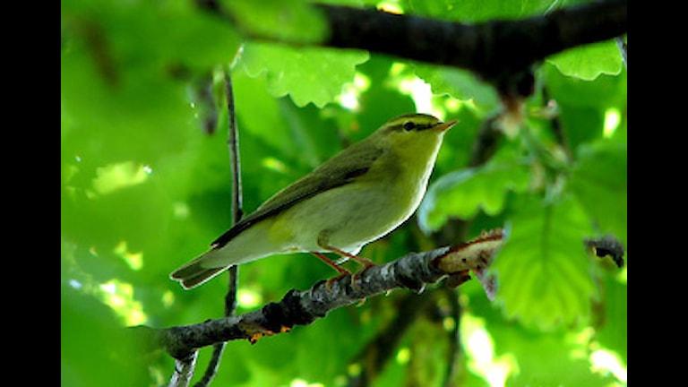 Grönsångare (Phylloscopus sibilatrix) Foto: GregorioW
