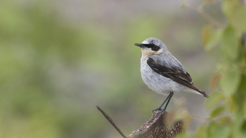 En fågel med grå ryg, svarta vingar, vit buk och ett banditstreck över ögat sitter på en gren. Stenskvätta, Oenanthe oenanthe