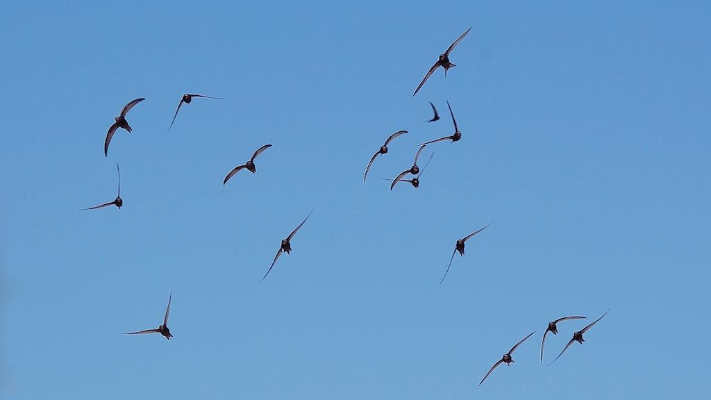 En flock svarta fåglar med mycket långa smala vingar flyger mot bakgrund av en blå himmel.
