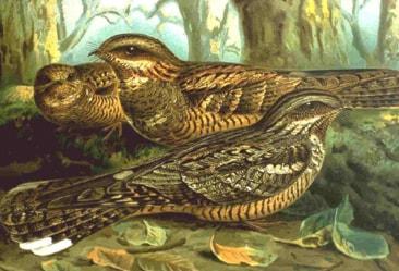 Nattskärra (Caprimulgus europaeus)Foto: Wikipedia