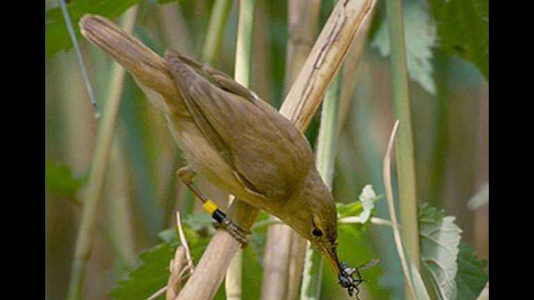 Rörsångare Foto: Per H. Olsen, Wikipedia