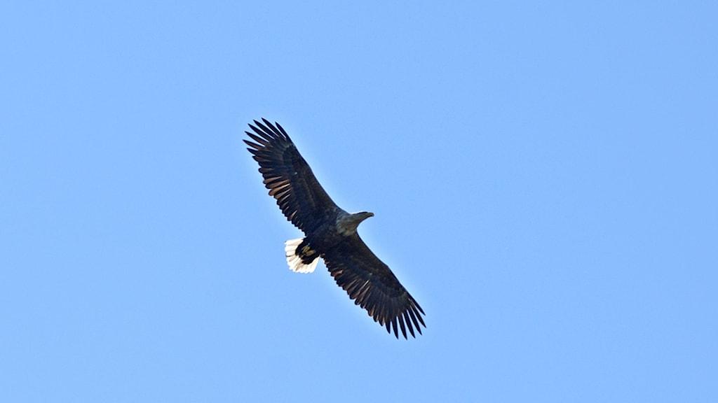 En flygande storvuxen rovfågel, mörk med vit stjärt, avtecknar sig mot blå himmel