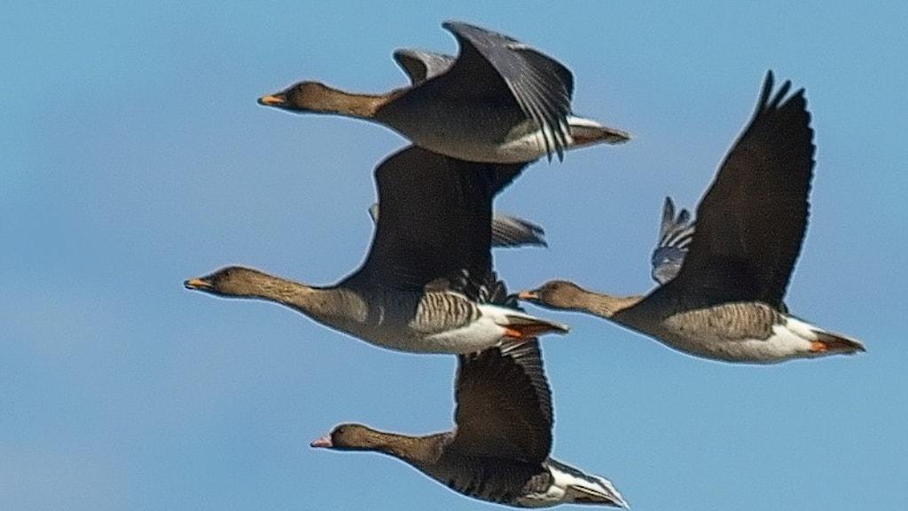 En flock bruna gäss flyger förbi med blå himmel som bakgrund. Sädgås, Anser fabalis