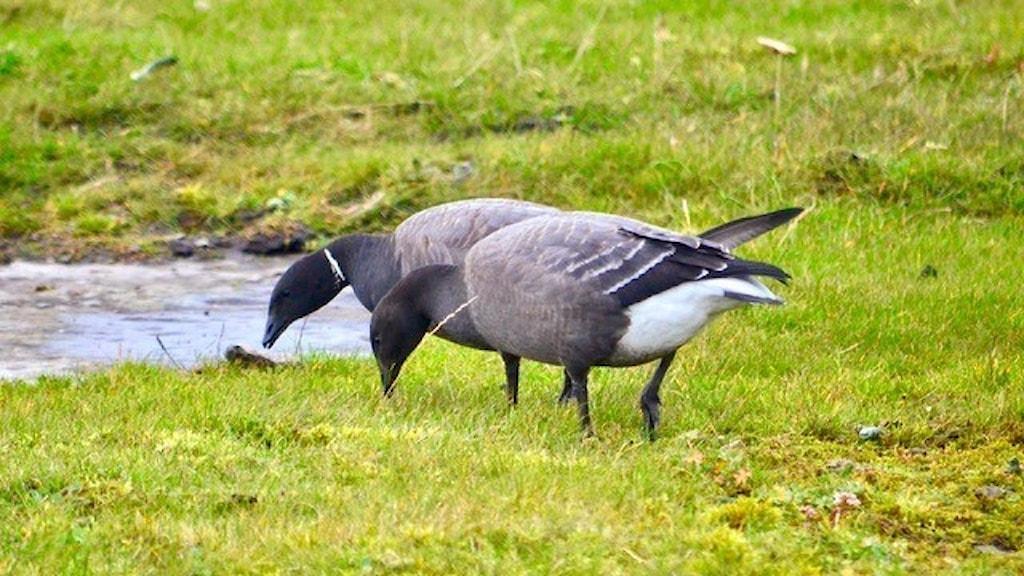 Två gäss betar på en gräsmark. De har grå kroppar och mestadels sotsvarta halsar. Prutås, Branta bernicla.