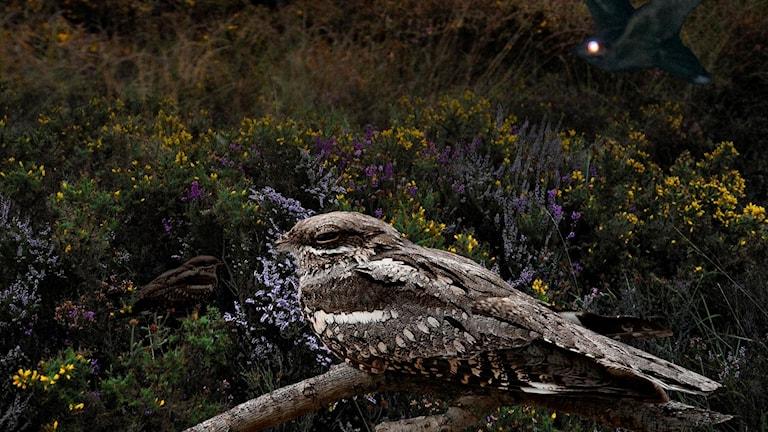 Brunspräcklig fågel på gren i nattligt ljus. Nattskärra, Caprimulgus europaeus