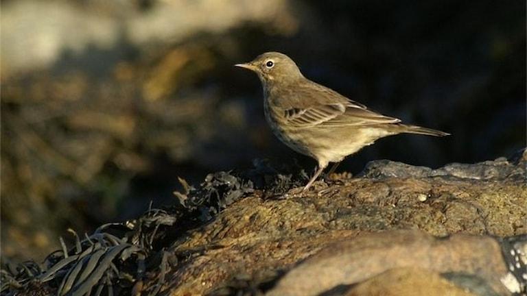 En slank småfågel, i formen som en sädesärla ungefär, men mer eller mindre brungrå över hela kroppen.