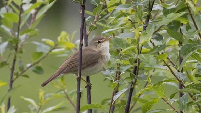 En diskret brun småfågel sitter i en buske och sjunger. Busksångare, Acrocephalus dumetorum