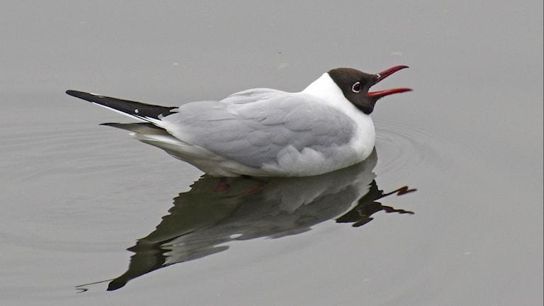 En måsfågel med mörkbrunt huvud ligger och flyter på vattnet. Skrattmås, Chroicocephalus ridibundus.