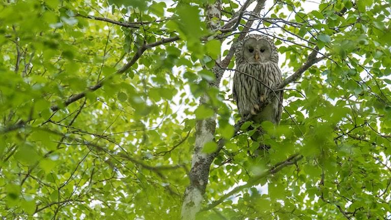 Honan varnar hela tiden från ett träd nära holken.