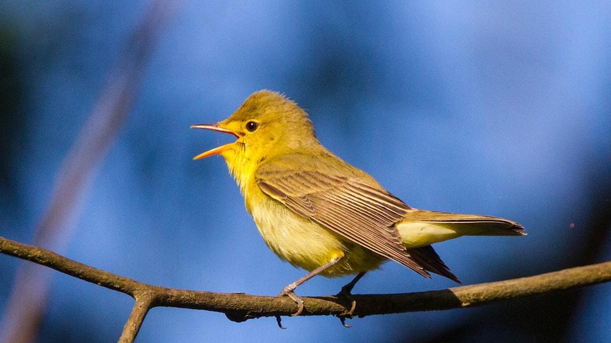 Intensivt sjungande gulgrön fågel med vidöppen näbb. Härmsångare, Hippolais icterina