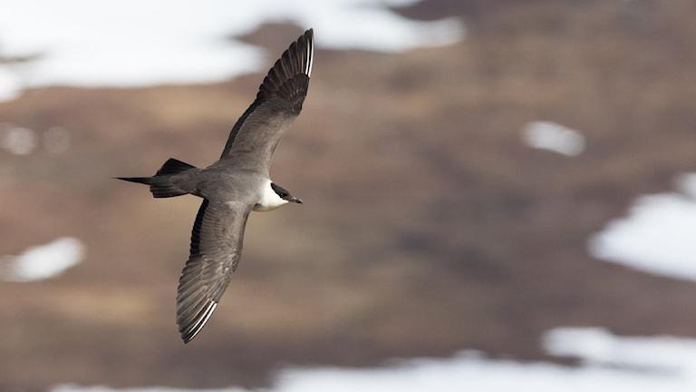 En graciöst flygande mestadels brun fågel med fjäll och snöfläckar i bakgrunden.