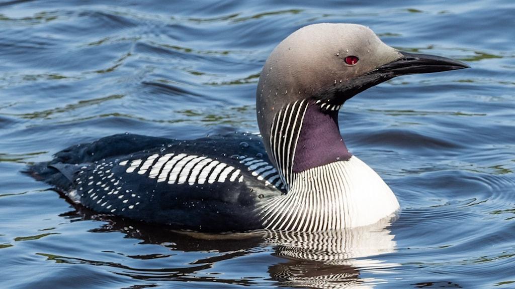 En närbild av en simfågel på vattnet, med strömlinjeformad kropp och kontrastrik teckning i svart, vitt och grått. Storlom, Gavia arctica