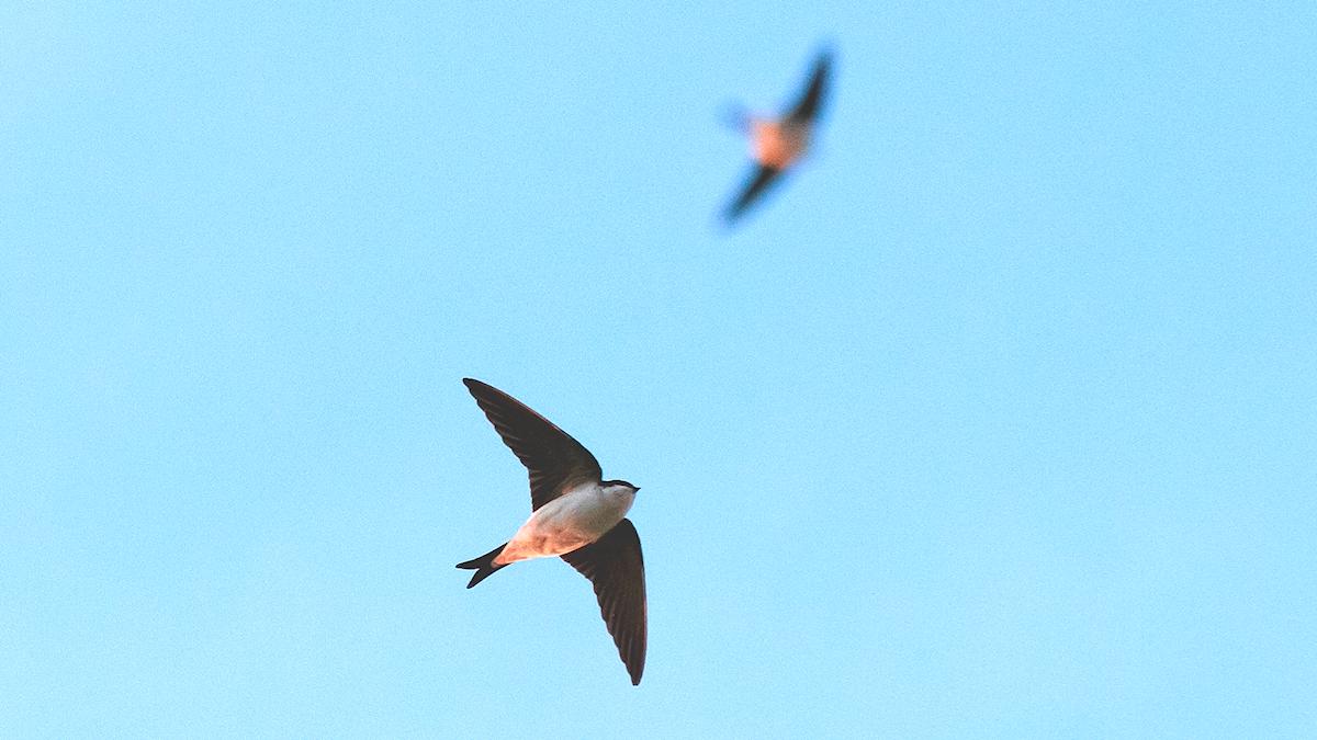 Två flygande fåglar mot den blå himlen. Hussvala, Delichon urbicum.