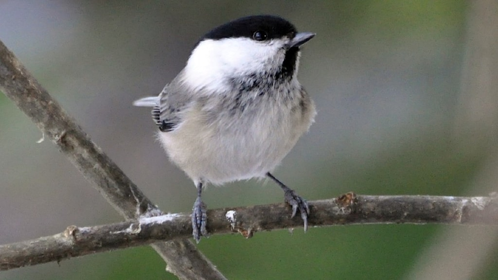 En liten mes med stort huvud och mestadels gråa toner i fjäderdräkten sitter på en gren.