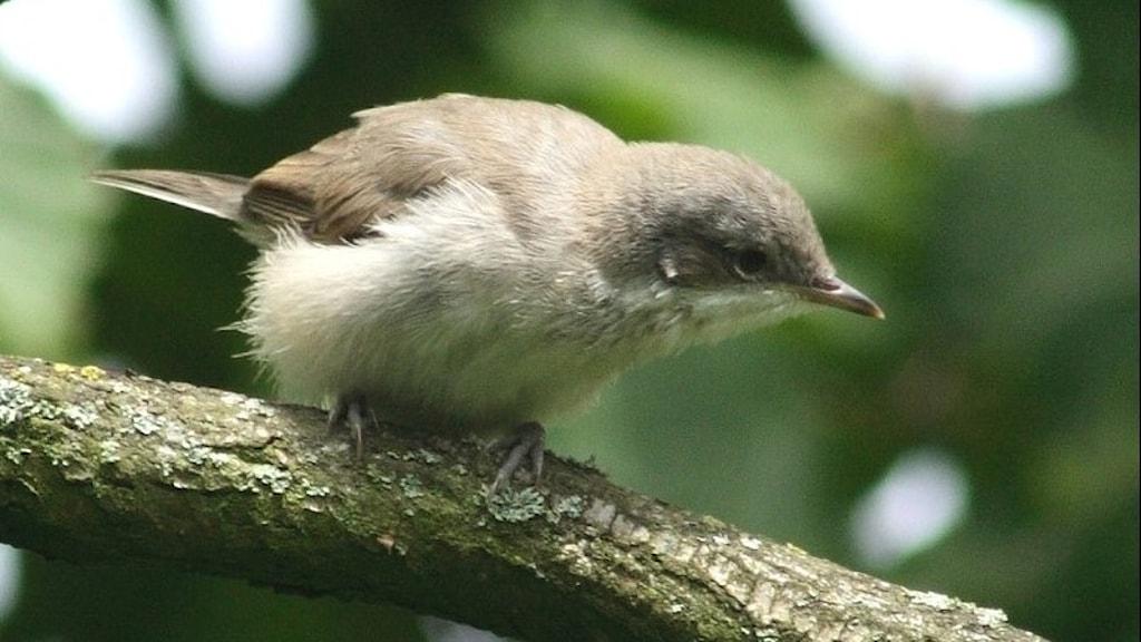 En spenslig småfågel som är övervägande grå på ovansidan och ljus på undersidan. Ärtsångare, Sylvia curruca.