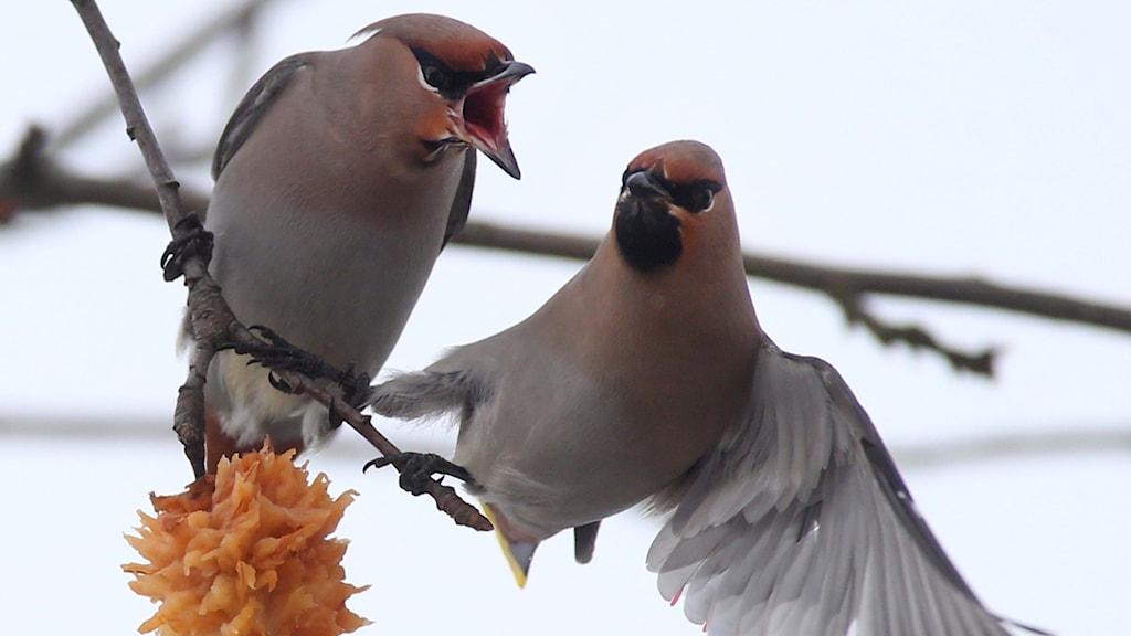 Två sammetslent rödbeige fåglar med bakåtstrukna tofsar som grälar om ett äpple på en kvist.