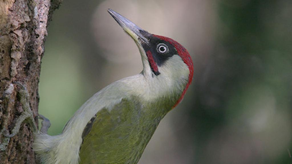 Närbild på en hackspett med jämngrön rygg och röd hjässa