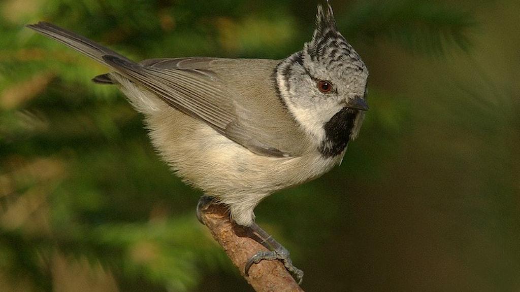 En liten gråbruntonad mesfågel med en tydlig gråmelerad tofs på huvudet. Tofsmes, Lophophanes cristatus