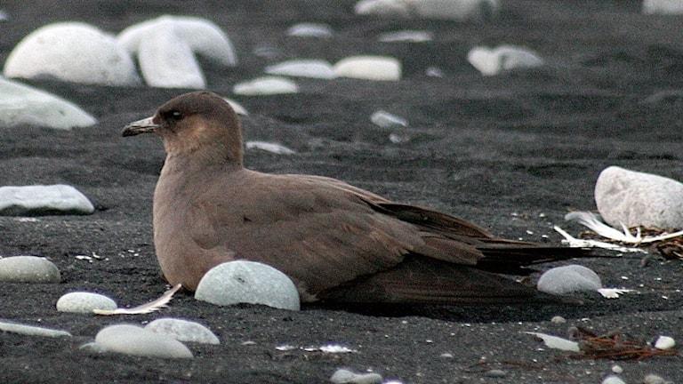 En mörkt chokladbrun fågel ligger på en strand med svart sand.