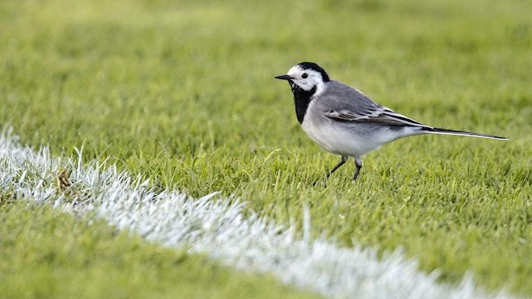 En grå, vit och svart fågel med lång stjärt går på det korta gräset på en fotbollsplan