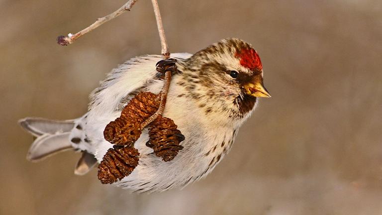 En liten fågel med ljus mage, streckade flanker och en klarröd fläck i pannan klänger på en vinterkvist med några alkottar på. Gråsiska, Acanthis flammea.