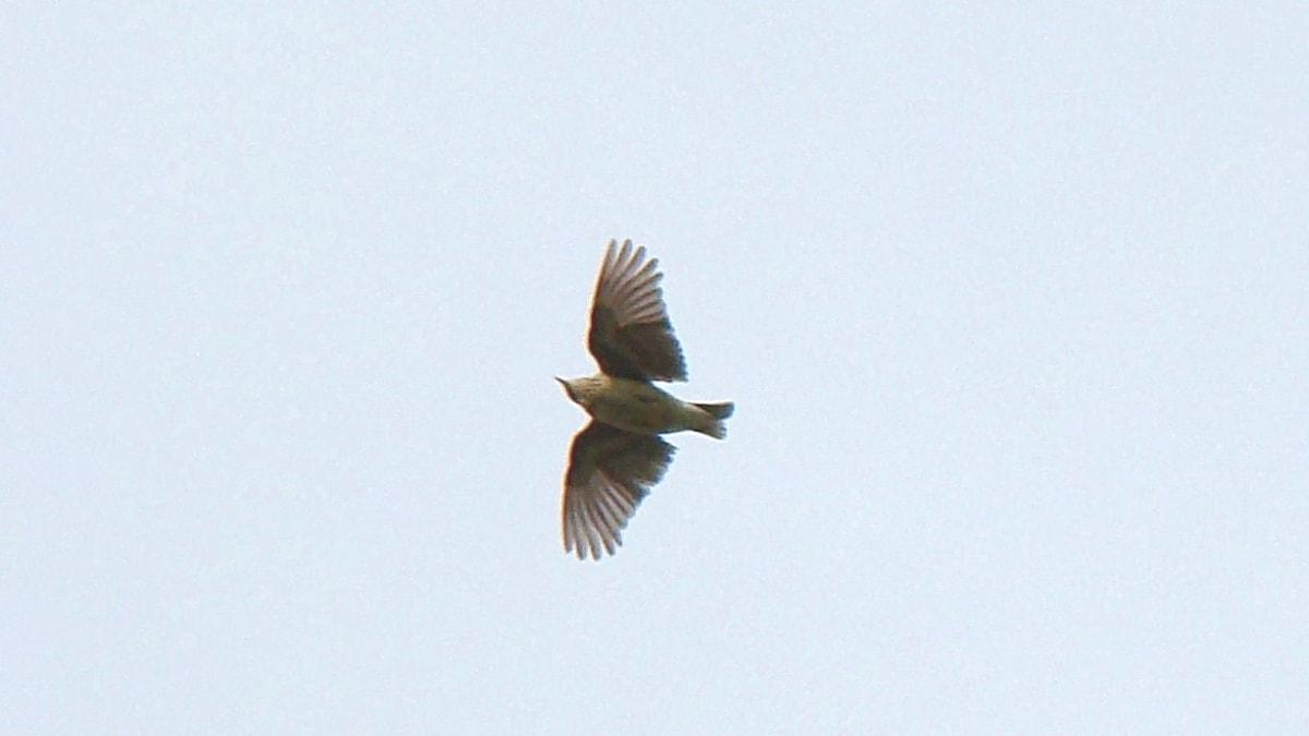 Flygande fågel sedd underifrån