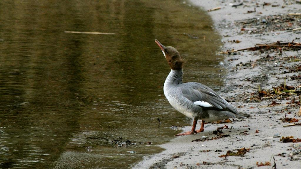 En grå andfågel med brunt huvud står på en strand