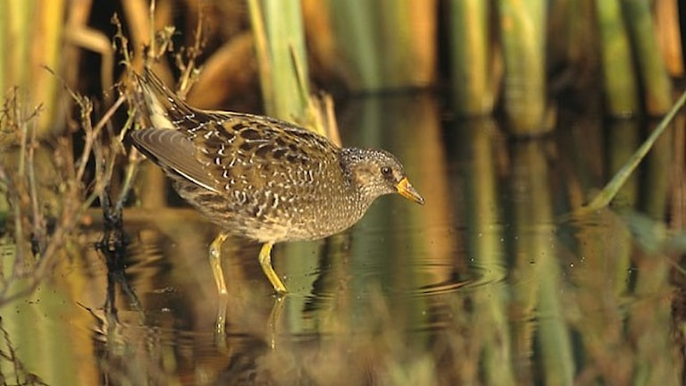 En liten hönslik fågel som står i grunt vatten med växtlighet i bakgrunden. Småfläckig sumphöna, Porzana porzana.