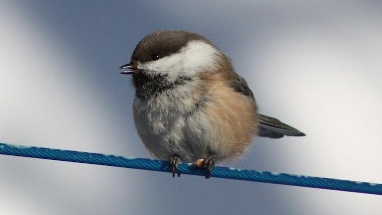 En liten fågel med stort huvud och uppburrad fjäderdräkt i vinterkylan. Påminner om en talltita men har mer bruna färgtoner.