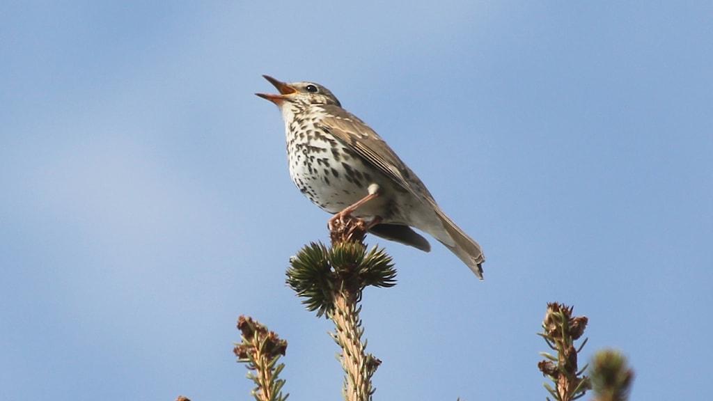 En sjungande fågel i toppen av en gran