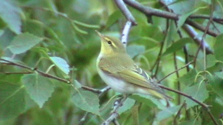 En liten grönaktig sångare i lövverket