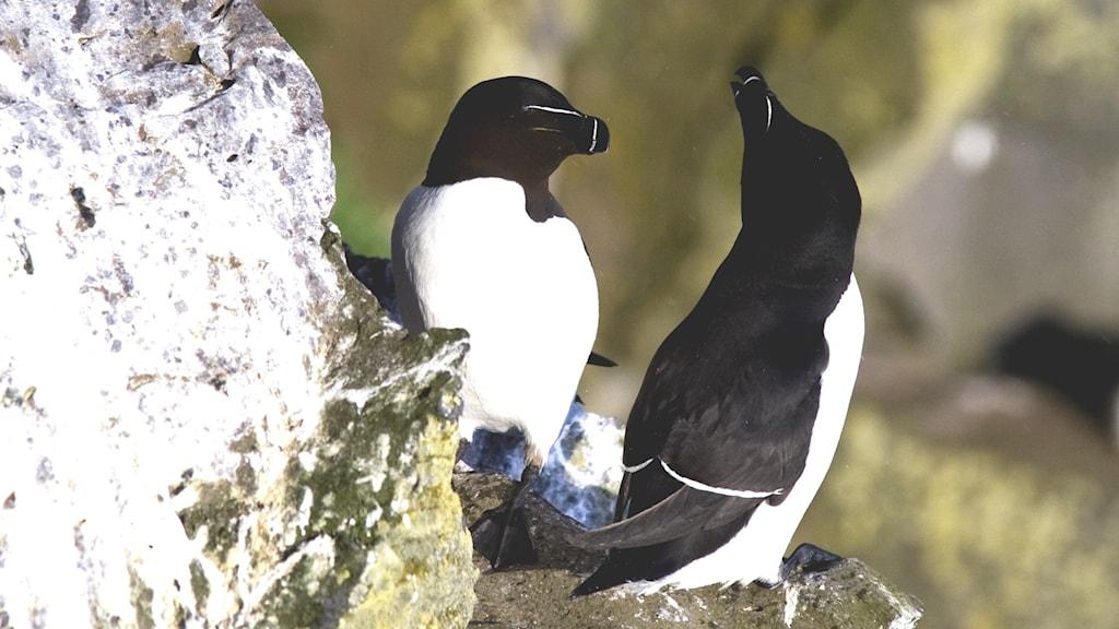 Två svartvita lite pingvinlika fåglar sitter på en klipphylla. Tordmule, Alca torda.