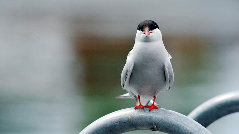 En vit fågel med röd näbb och svart hjässa sitter på ett metallräcke och tittar in i kameran