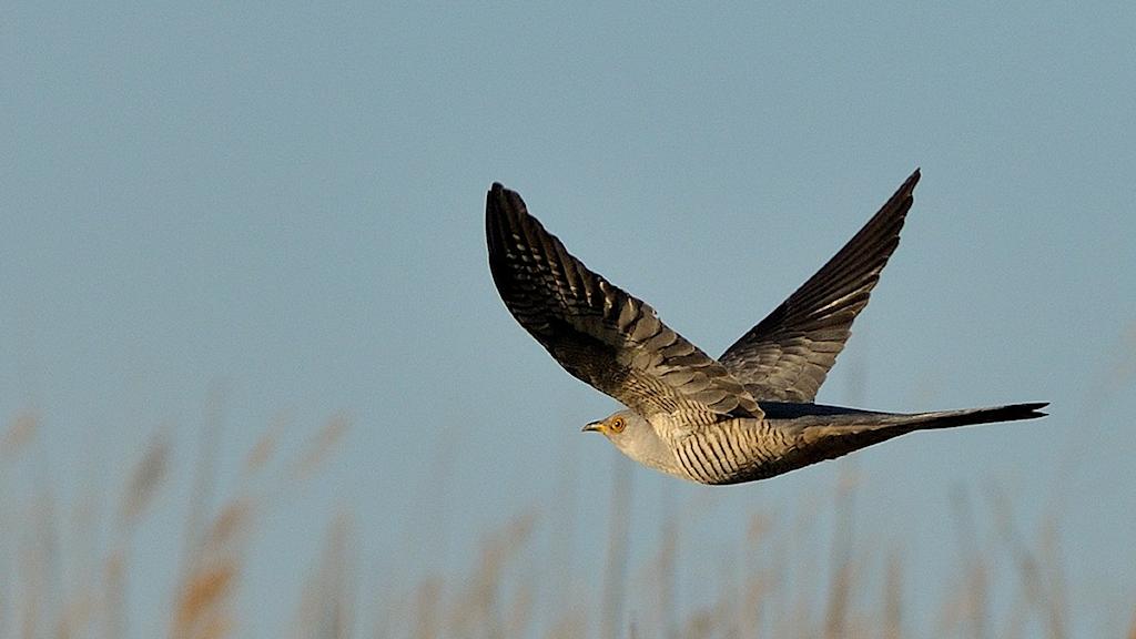 En fågel kommer flygande, det vattrade bröstet gör att den ser lite höklik ut, men näbben är ingen rovfågelsnäbb. Gök, Cuculus canorus