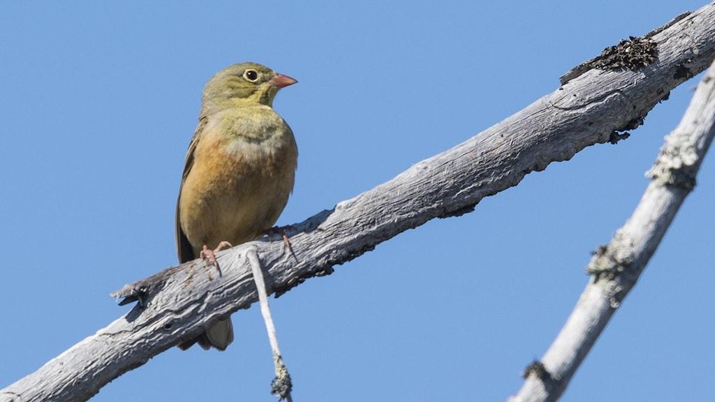 En sparv i diskret vackra gula och gulgröna färgtoner sitter på en naken gren mot blå himmel. Ortolansparv, Emberiza hortulana