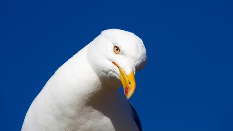Närbild på vit trutfågel med strängt utseende. Näbben är gul med en röd prick på undersidan.