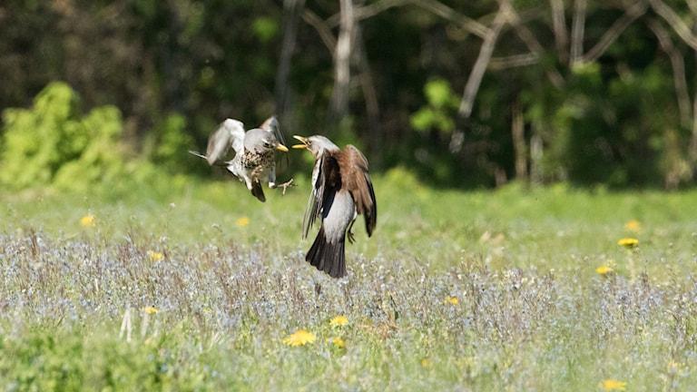 Två halvstora fåglar inbegripna i någon sorts luftduell över en blommande äng