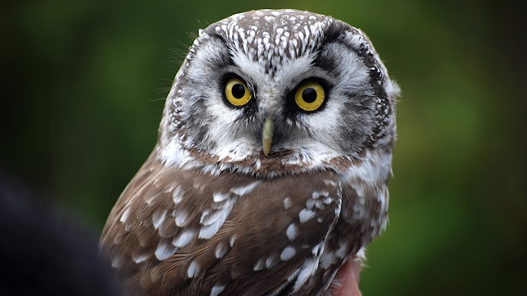 Närbild på en liten uggla med stora runda gula ögon med svarta pupiller. Pärluggla, Aegolis funereus.