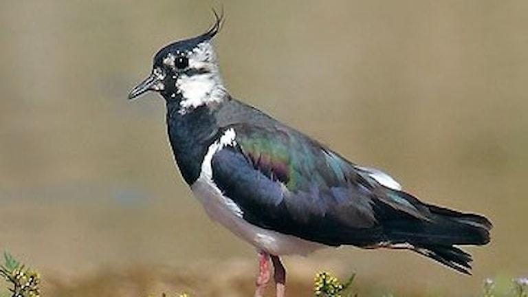 En vadarfågel med metallskimrande mörk ryggsida och vingar och en smal bakåtslickad tofs på huvudet.