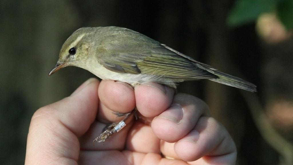 En liten grönaktig fågel med smal kroppsform som hålls i en hand i samband med ringmärkning.