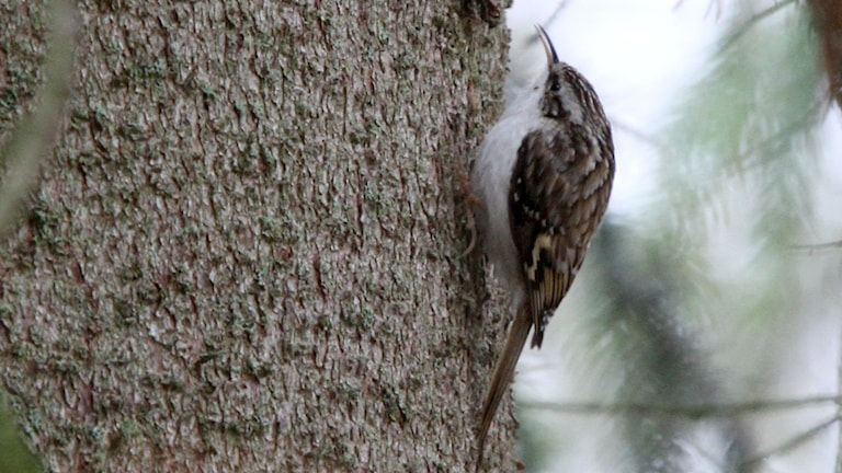 Trädkrypare, Certhia familiaris, klättrar uppåt på trädstammen. Den hänger ofta med i de så kallade mestågen.