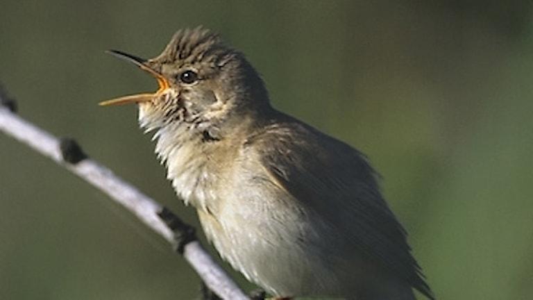 Intensivt sjungande liten brun fågel med vidöppen näbb