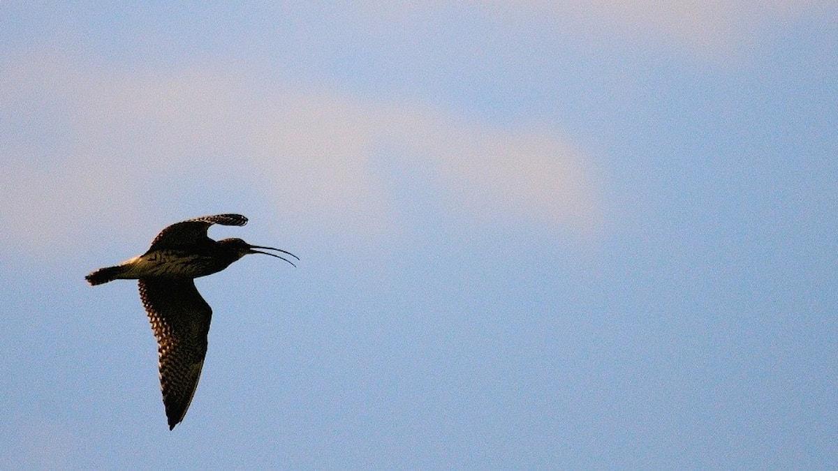 En fågel i silhuett mot himlen. Kroppen är brun, näbben är mycket lång och lite nedåtböjd. Storspov, Numenius arquata