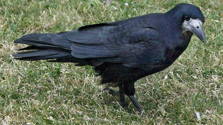 En blanksvart kråkfågel med lite grå naken hud kring näbbroten. Den sitter på en gräsmatta.