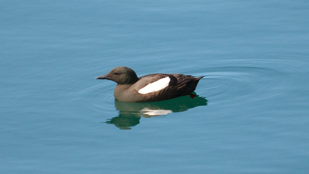 En mörkt brun, nästan svart fågel med ett ovalt vitt fält på sidan simmar på vattenytan. Tobisgrissla, Cepphus grylle