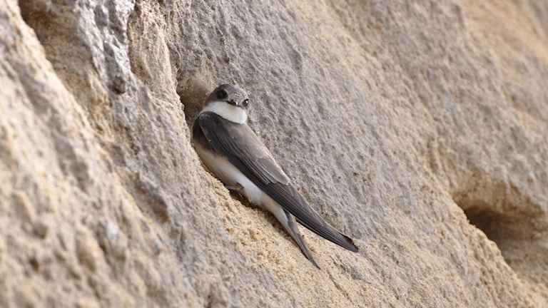 En brun slank fågel (svala) sitter vid en bomynning i en brant sandslänt