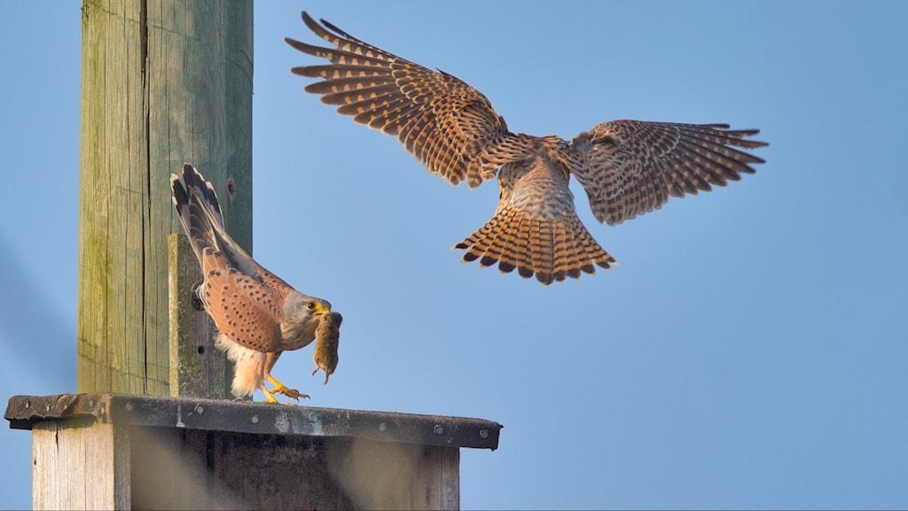 Två rovfåglar möts, den ena sitter på taket till en holk med en sork i näbben, den andra flyger i luften. Tornfalk, Falco tinnunculus.